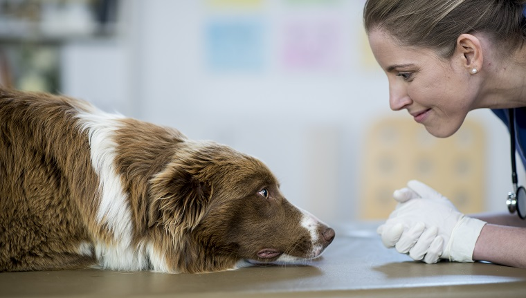 A Caucasian female veterinarian is indoors at a pet clinic. She is wearing medical clothing. She is about to examine a big dog lying on the table. She is looking at its face close-up.