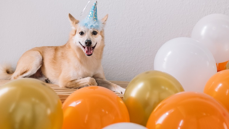Roscoe the Shiba Mix is celebrating his 6th Birthday!