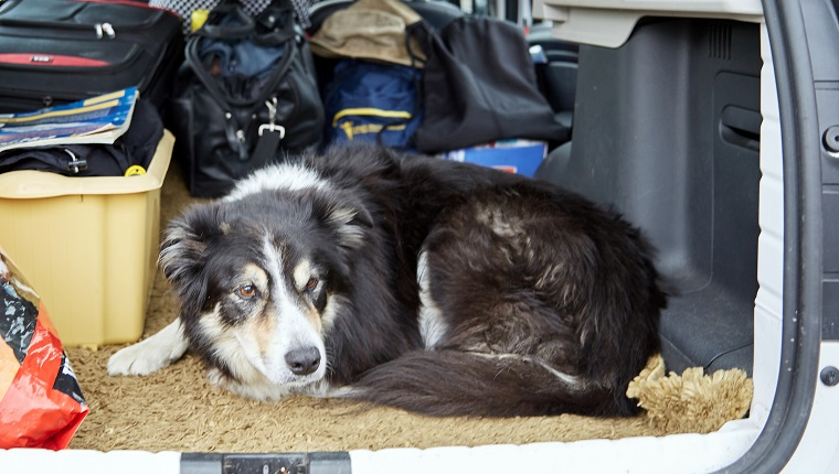 Border collie in boot of car loaded up for vacation