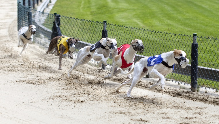 Greyhounds on racetrack. Traditional greyhound uniforms - no specific property traceable. Minor motion blur