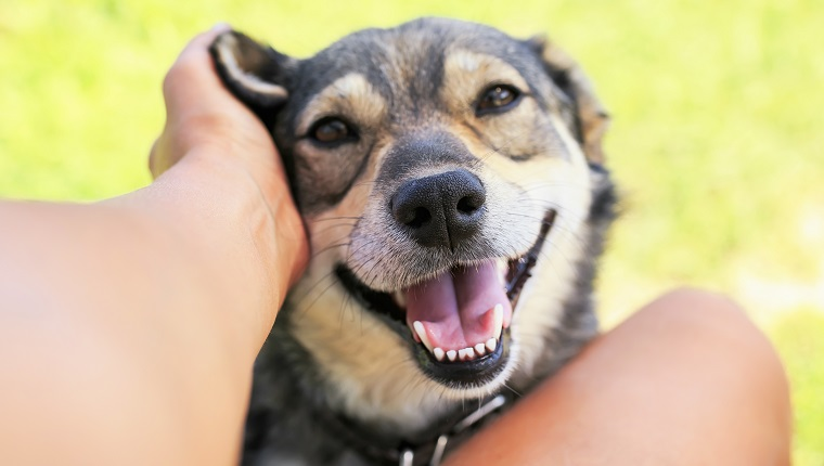 funny beautiful dog crouched his face with pleasure and gaped his mouth from the hands of a man scratching behind his ear