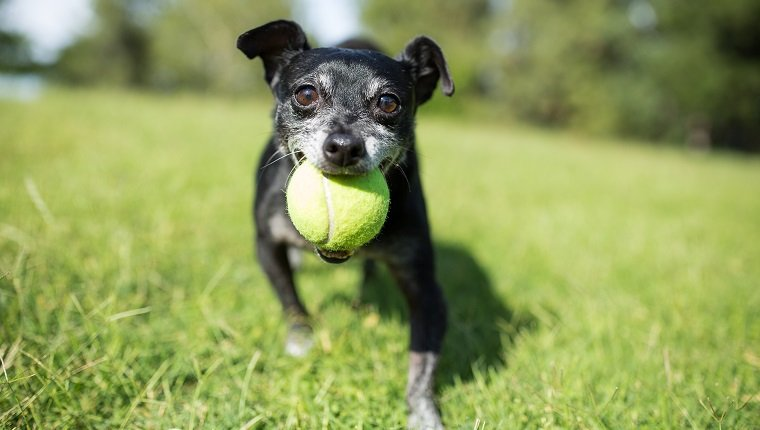 A small dog with a tennis ball in a park on a sunny national dog day