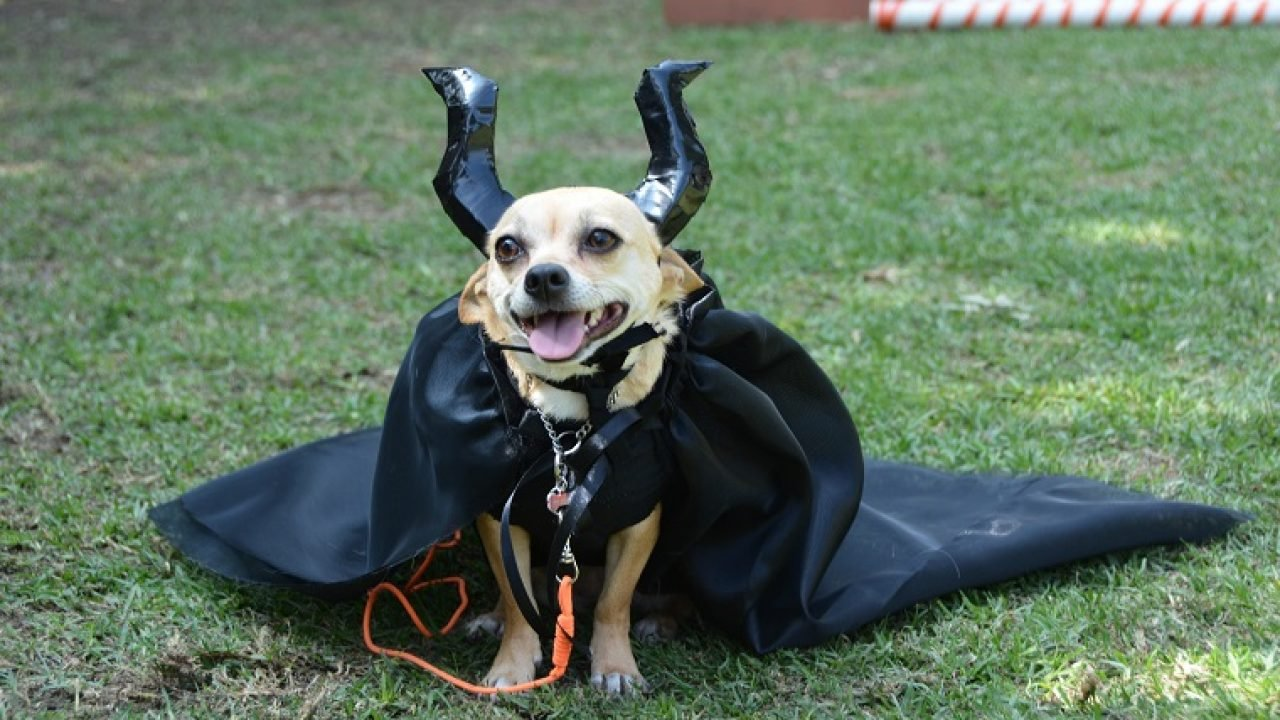 Tiny Dog Halloween Costumes.10 Best Halloween Costumes For Small Dogs Pictures Dogtime
