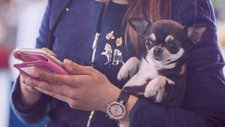 Chiwawa dog over woman arms while she looks her mobile phone