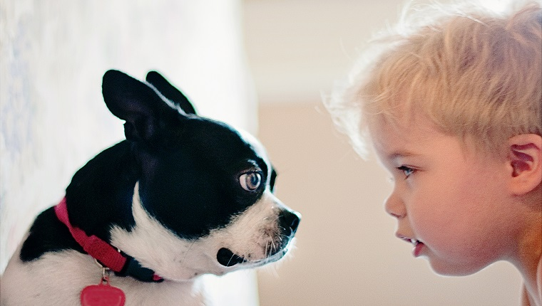 The image is of a Boston Terrier puppy and a toddler boy approximately 2-5 years of age with blond hair,blue eyes, and fair skin. The puppy and the boy are staring at each other. This image is a side profile view of the two subjects