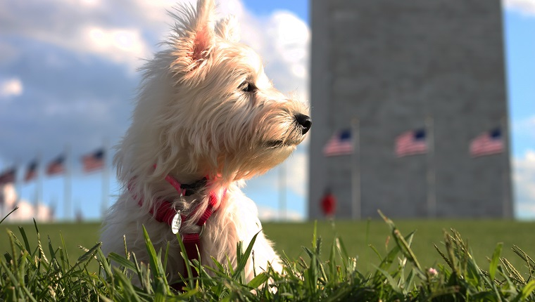 West Highland Terrier showing American pride at Washington Monument in Washington DC