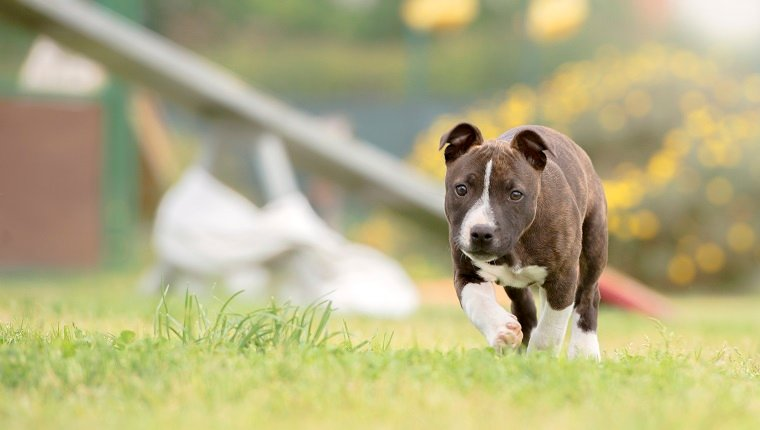 Staffordshire Bull Terrier puppy walking, Rome, Italy