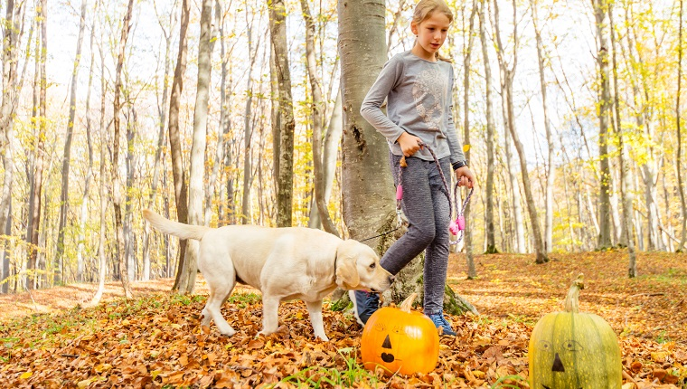 10 years old girl finds two painted Halloween pumpkins while she is walking her yellow labrador dog in forest.