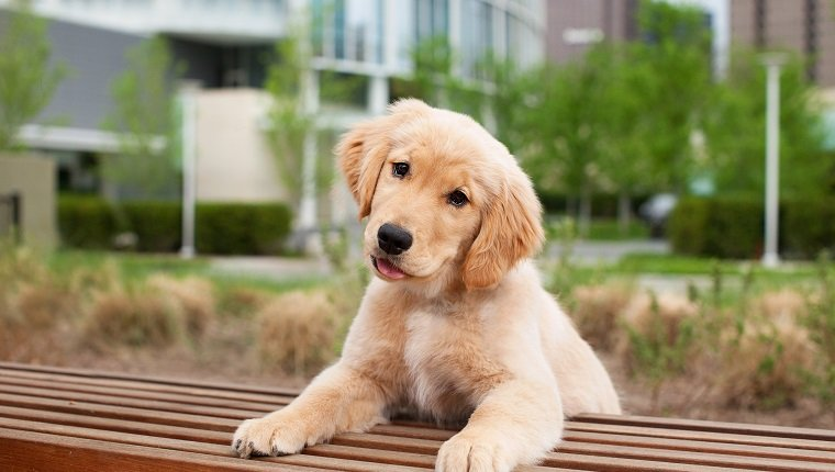 Portrait of golden retriever puppy in city
