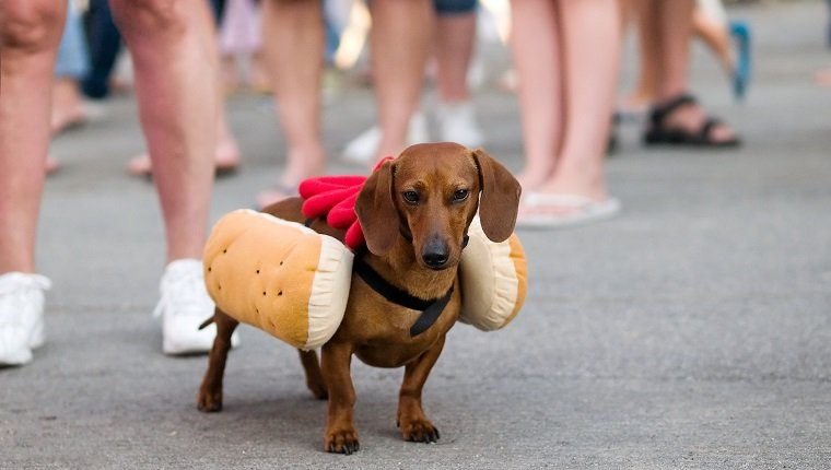 Dachshund dog dressed up as hot dog with ketchup.