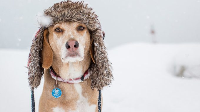 senior dog in snow with winter hat