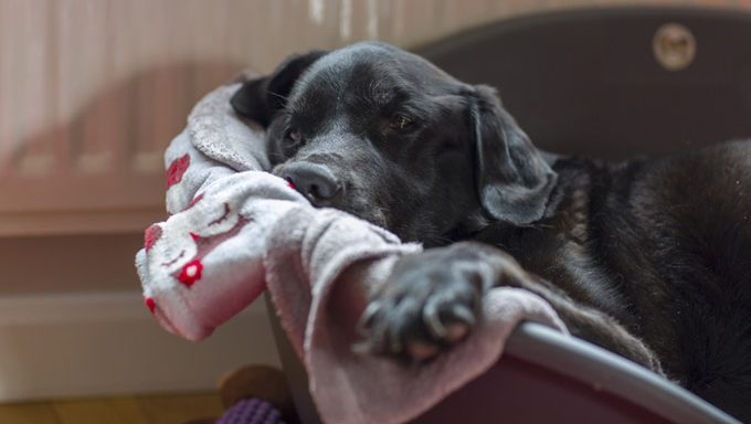 dog lying in bed with blanket