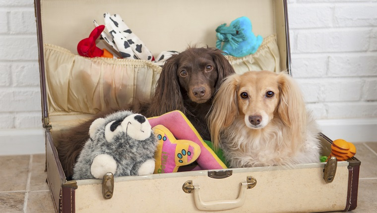 Two dachshunds ready to go with their toys packed in a suitcase.