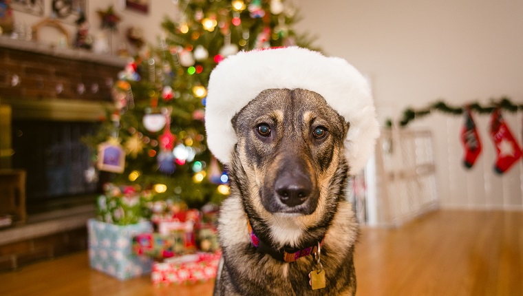 A mixed breed German Shepherd dog sits in front of a Christmas tree wearing a fur-trimmed Santa hat.
