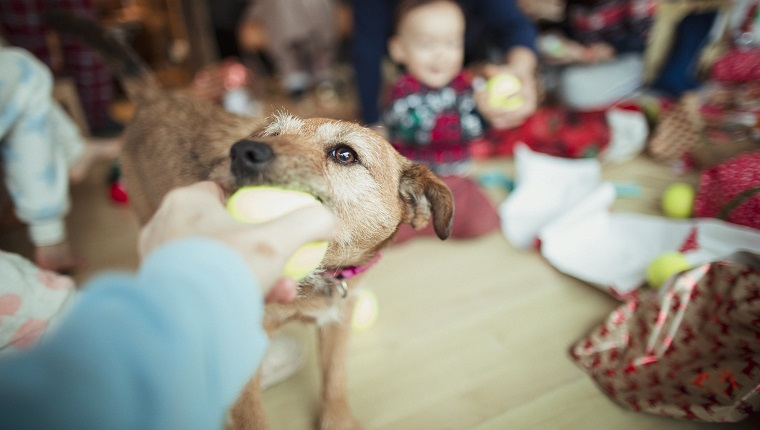 A point of view shot of an unrecognizable person passing a small ball to a patterdale terrier.