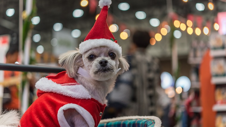 Sweet dog so cute mixed breed with Shih-Tzu, Pomeranian and Poodle looking something with santa claus dress and hat in merry christmas and new year celebration with light bokeh