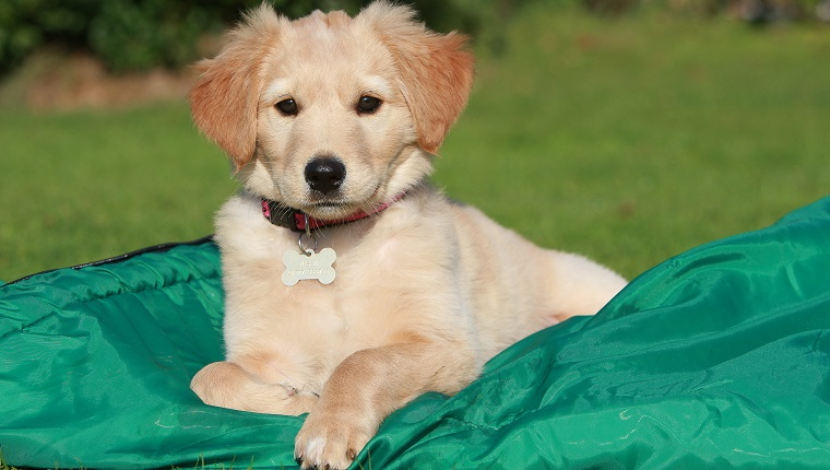 Golden Retriever (Canis lupus familiaris) puppy