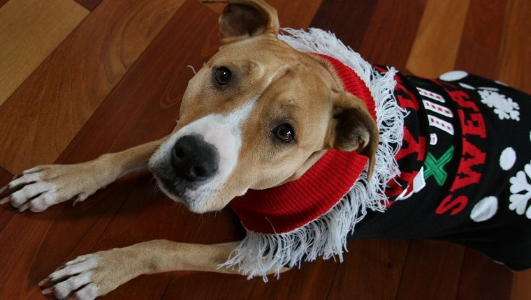 Tan and White Pit Bull wearing ugly Christmas sweater.