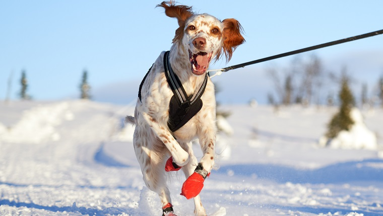 Young Setter running on a leash while the owner is skiing in the Norwegian mountains