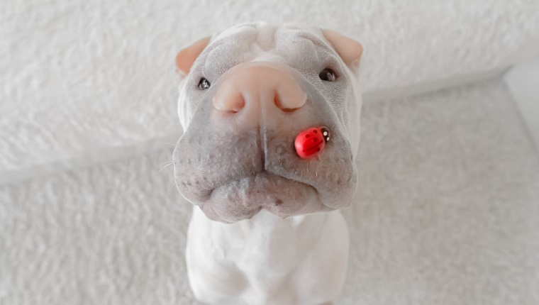 shar-pei dog with lady bug on his snout