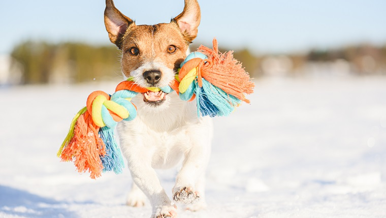 Jack Russell Terrier dog playing on ice
