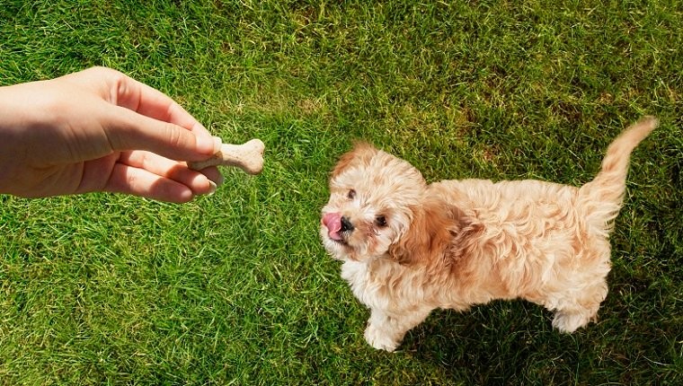 Personal perspective pet owner holding treat over dog licking lips in grass