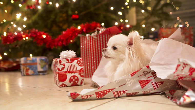 A cute, long haired white Chihuahua puppy rests in a pile of wrapping paper by the christmas tree adorned with lights and garland.