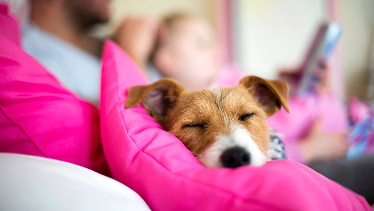 Comfortable dog lying on a bed sleeping. A father is reading a bedtime story to his daughter in the background. Focus is on the dogs face.