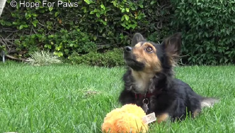 Pirate plays with a ball on the grass