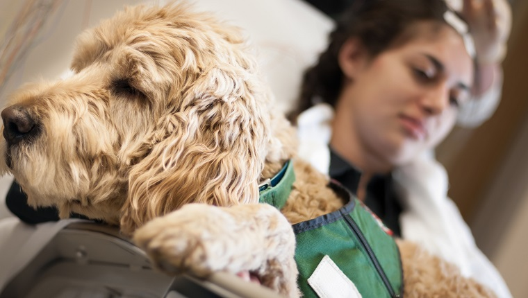 A stock photo of a working pet therapy dog in the lap of a patient