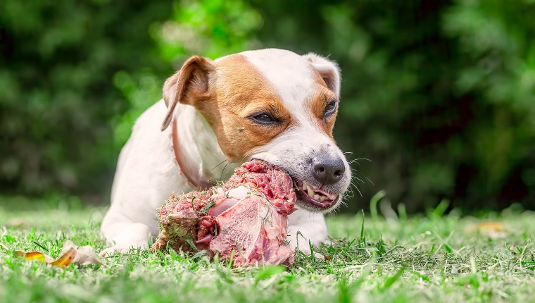 Jack Russell Terrier Dog Lying On A Meadow And Eat A Raw Bone
