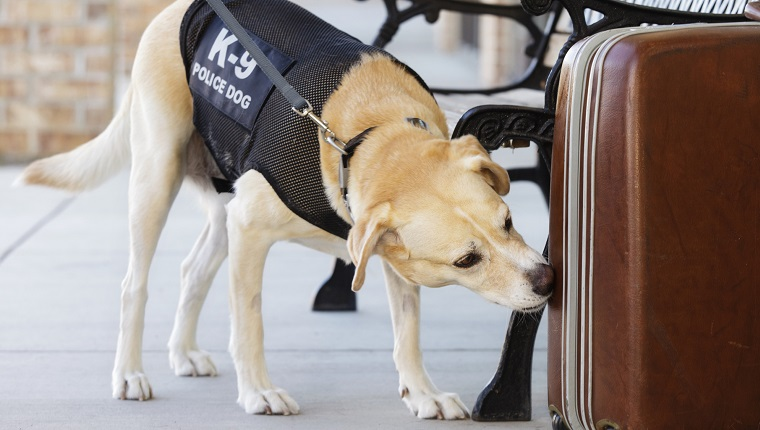 An explosives and drug-sniffing police dog investigating a abandoned suitcase.
