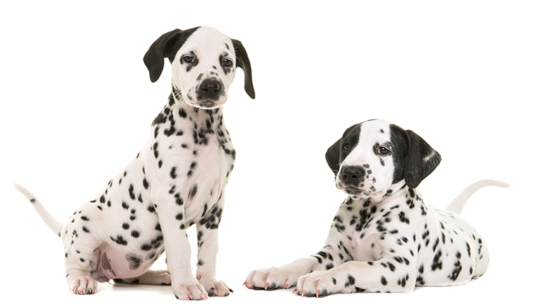 Two cute dalmatian puppy dogs sitting and lying down facing the camera isolated on a white background both with tails up