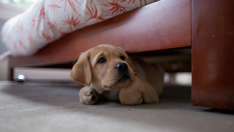 Yellow puppy labrador retriever hiding under a bed