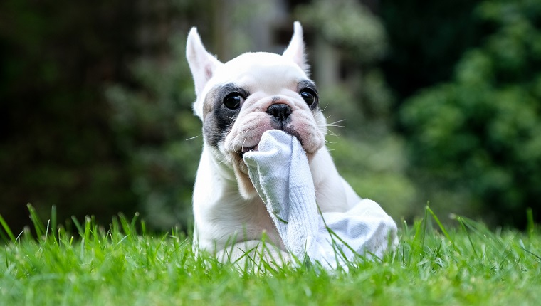 Close up of Pied French Bulldog puppy chewing on a piece of sock