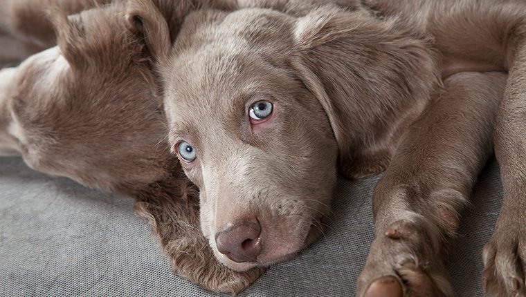 Three months old Weimaraner puppy looking at the camera with sleepy eyes.