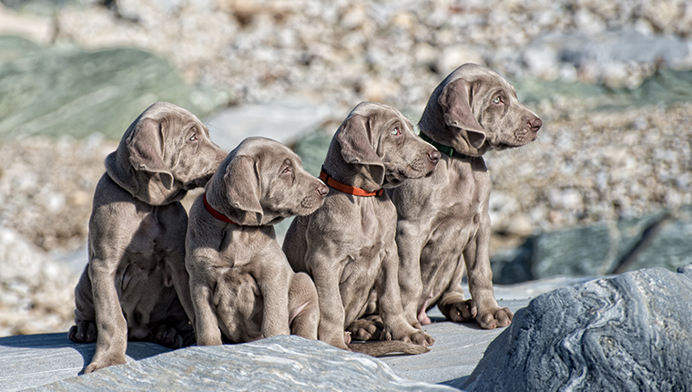 Four Weimaraner puppies outside sitting