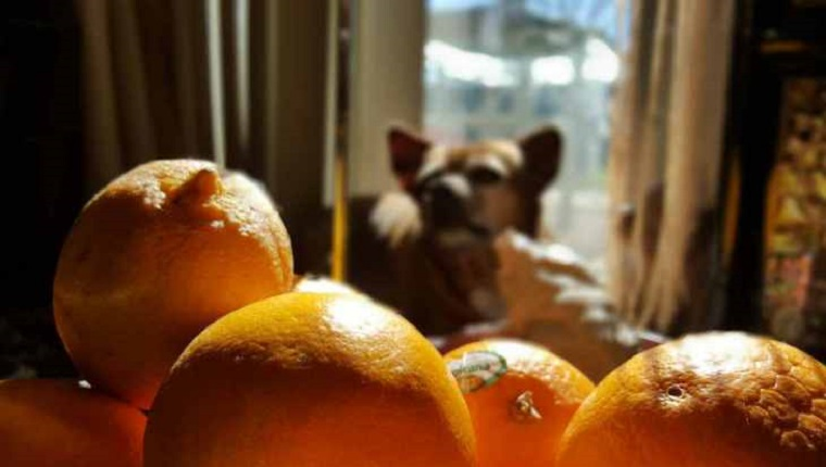 Dogs with oranges