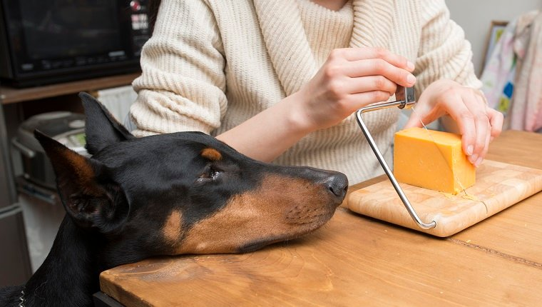 A woman cutting a cheese and a Doberman staring at it
