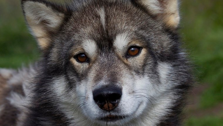Sled dog gazing with brown eyes, portrait