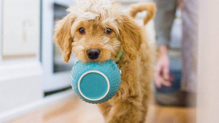 Goldendoodle carrying her dinner bowl.