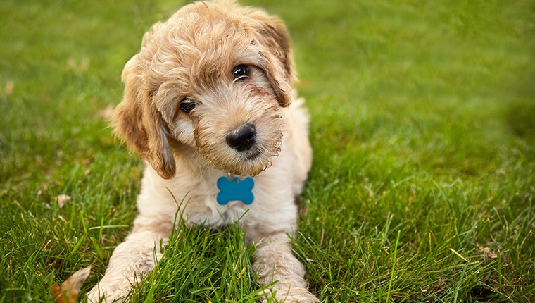 A 9 week old Goldendoodle puppy laying down in grass looking at the camera with his head cocked to the side.