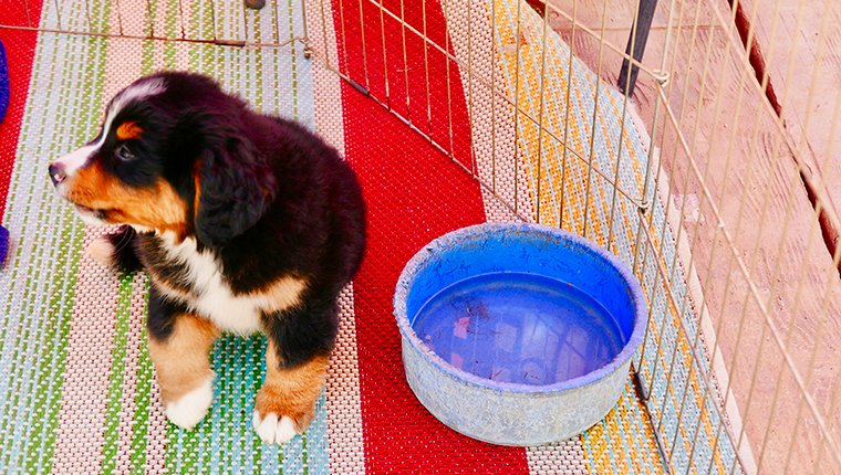 Healthy Bernese Mountain Dog Puppies for sale in outdoor playpen