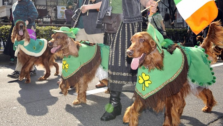 Members of Irish Setter Club and their dogs march during the St.Patrick's Day Parade in Tokyo on March 16, 2008. Some 2,000 people took part in the parade to commemorate the Irish patron saint. AFP PHOTO / Yoshikazu TSUNO