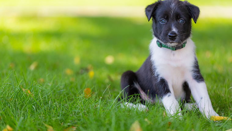 Lovely smart puppy Border Collie nature, training, agility.
