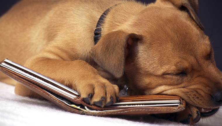 Misbehaving puppy chewing on wallet