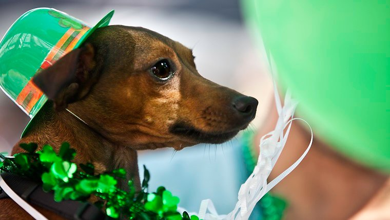 Cute dog is dressed in costume for St. Patty's Day. He is wearing a hat and shamrocks around his neck.