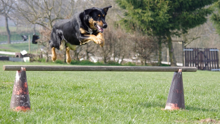 Dog Leaping