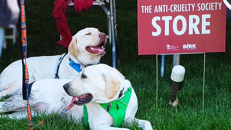 Labradors at bark in the park