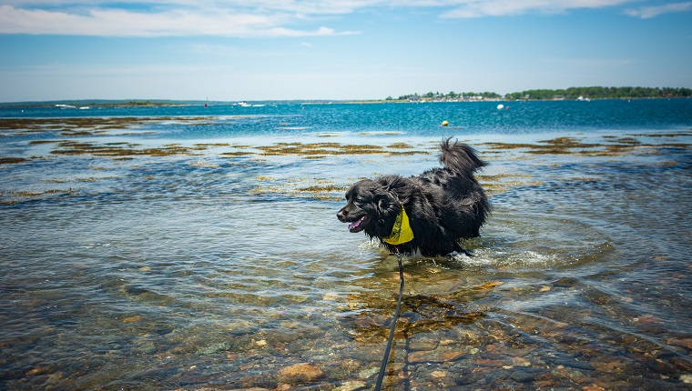 """""""Bear"""" the 2 year old Newfoundland dog enjoys playing in the ocean and cooling off in a cove in Harpswell, Maine on a warm, bright, sunny Father's Day. Deep blue sky and turquoise water in the distance."""